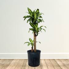 dracena corn plant for fast growing trees com