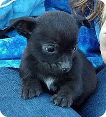 meet winston 3 lb video a dog for adoption
