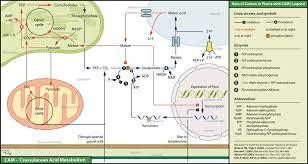 C3 C4 And Cam Plants Comparison Chart Biology Dictionary