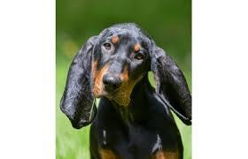 Black And Tan Coonhound Spokojenypescz