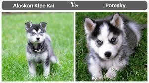 alaskan klee kai size alaskan klee kai vs pomsky puppies compared