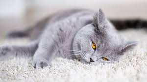 Best Cat Food For British Shorthairs 2019