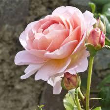 garden roses. Hybrid Tea Roses Garden