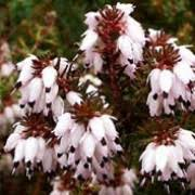 Erica x darleyensis 'Jenny Porter' Heather Care Plant Varieties & Pruning  Advice