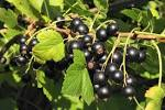 Images & Illustrations of black currant