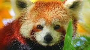 Cute Baby Red Pandas Wallpapers - Top ...