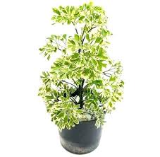 unique best large indoor plants low light or tall house tree houseplants for home and plant best large indoor plants
