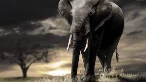 Wallpaper Elephant, sunset, savanna ...