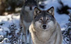 grey wolf size grey wolf 7035990