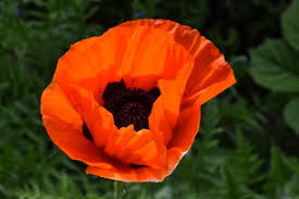 5 interesting facts about poppies