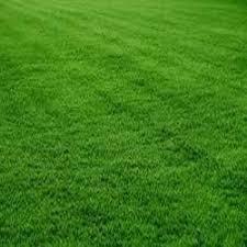 carpet grass. natural lawn grass carpet t