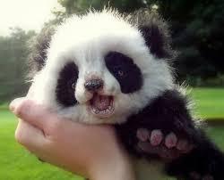 cute panda pictures
