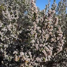Desert Heath Myrtle @ ExplorOz Wildflowers
