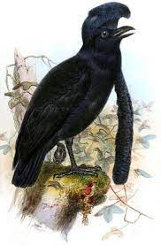 ☆ Umbrella bird facts   Info   About   What's This?