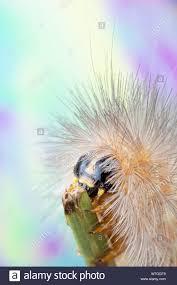 Light Yellow Fuzzy Caterpillar Fuzzy Caterpillar Moth Macro Stock Photos Fuzzy