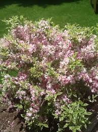 Plants  Landscaping And Pool Maintenance In Belleville Illinois Shrub With Pink Flowers