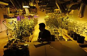 the research suggests marijuana legalization could lead to more  a marijuana business manager prepares for the first day of recreational s