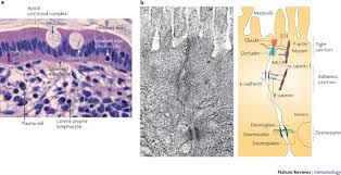 intestinal mucosal barrier function in