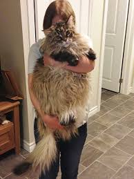 Boredom 16-huge-cats-maine-coon-tiny-owners - - Boredom Therapy 16-huge-cats-maine-coon-tiny-owners