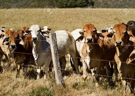 barbed wire fence cattle. Australian Brahma Beef Cattle Line Along A Barbed Wire Fence, Red Cows Grey Cow Stock Fence