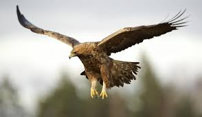 golden eagles flying. Wonderful Golden Adult Male Golden Eagle Intended Eagles Flying Y