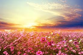 flower field sunset. Download Beautiful Pink And Red Cosmos Flower Field With Sunset. Stock Photo - Image Of Sunset