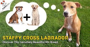 Staffy Cross Labrador Staffador Discover This Gorgeous