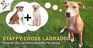 Staffy Colour Chart Staffy Cross Labrador Staffador Discover This Gorgeous