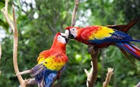 beautiful bird red parrot hd wallpaper images