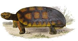 Лесная черепаха шабути chelonoidis denticulata длина панцирь  Лесная черепаха шабути chelonoidis denticulata рисунок картинка Длина