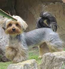 Yorkie Size Chart Yorkie Size Yorkshire Terrier Information Center