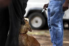 africa s scourge chicago s crusade a domestic dog huddles near his owner before it receives a rabies vaccination in bunda tanzania link to this photo