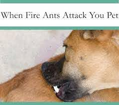 Download Fire Ant Bites On Dogs Treatment Images