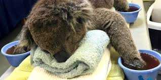 jeremy the koala survives devastating n fire finds a  jeremy the koala survives devastating n fire finds a spot to soothe his paws huffpost