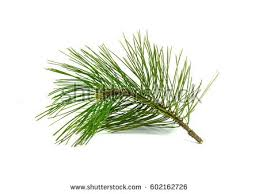 Pine branch isolated on white background.