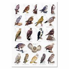 British Birds Of Prey A5 Identification Card Chart Postcard