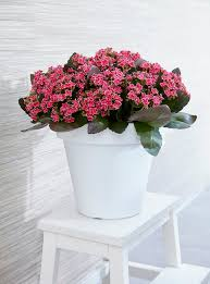 kalanchoe is a tropical succulent plants of this genus grows best outdoors in warm climates however it can be grown indoors this flowering succulent