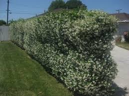 star jasmine (Trachelospermum jasminoides) hedge covers chain link fence