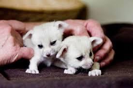 newborn fennec fox. Delighful Newborn Newborn Fennec Foxes With Fennec Fox