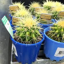best indoor plants for office. Golden Barrel Cactus Echinocactus Grusonii Plant In 100mm Potbest Small Desk Plants Best Indoor Office For P