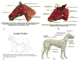 Dog Lymph Node Location Chart Anatomical Location Of Animal Lymph Node A Horse B