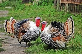 Raising Backyard Turkeys For Meat Backyard Poultry