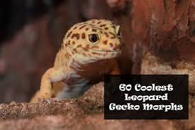Leopard Gecko Morph Chart 60 Coolest Types Of Leopard Gecko Morphs And Colors You Can Own
