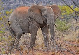 elephant color. Fine Elephant Dye The Red Hue Is Due To The Elephants Using Famous Soil Of Throughout Elephant Color R
