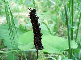 クロアゲハ の 幼虫