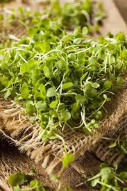 raw green arugula microgreens stock photo 56360937