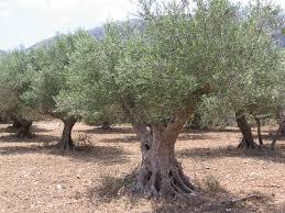 Olijfboom (Olea europaea) | MijnTuin.org