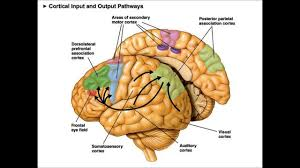 sensorimotor ociation cortex