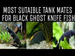 Black Ghost Knife Fish Compatibility Chart Tank Mates For Black Ghost Knife Fish