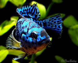 Small Picture Best 25 South american cichlids ideas on Pinterest Cichlids